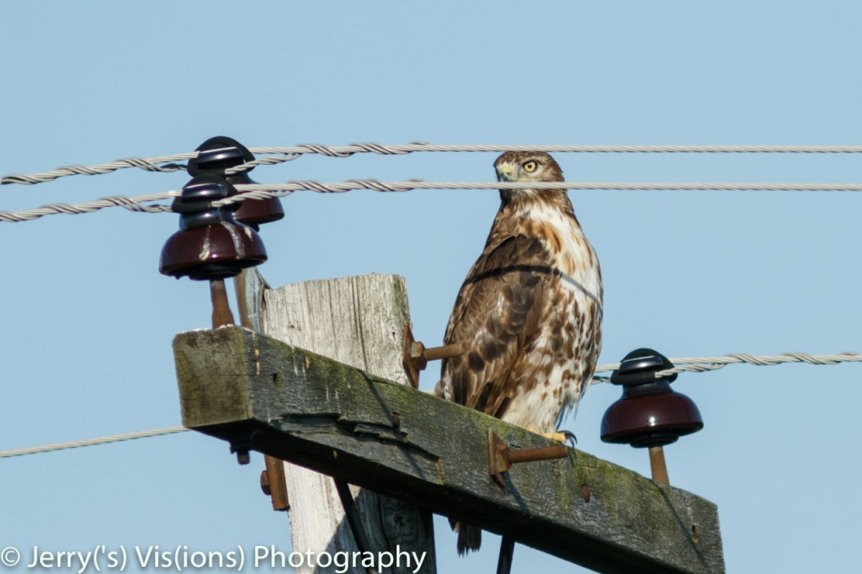 Red-tailed hawk trying to hide behind wires