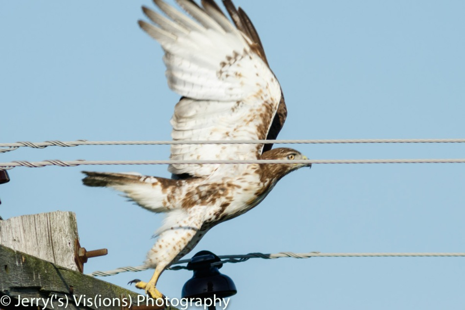 Red-tailed hawk taking flight