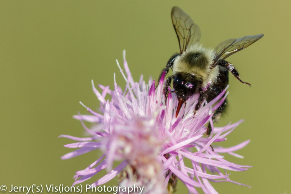 Bumblebee on spotted knapweed