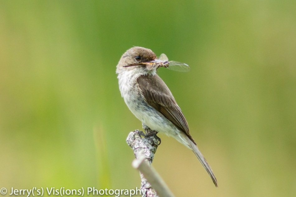 Eastern Phoebe with a dragonfly for her young