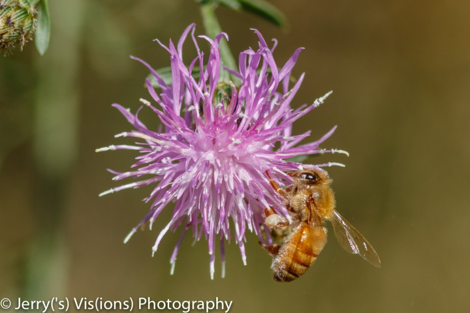 Honeybee on spotted knapweed
