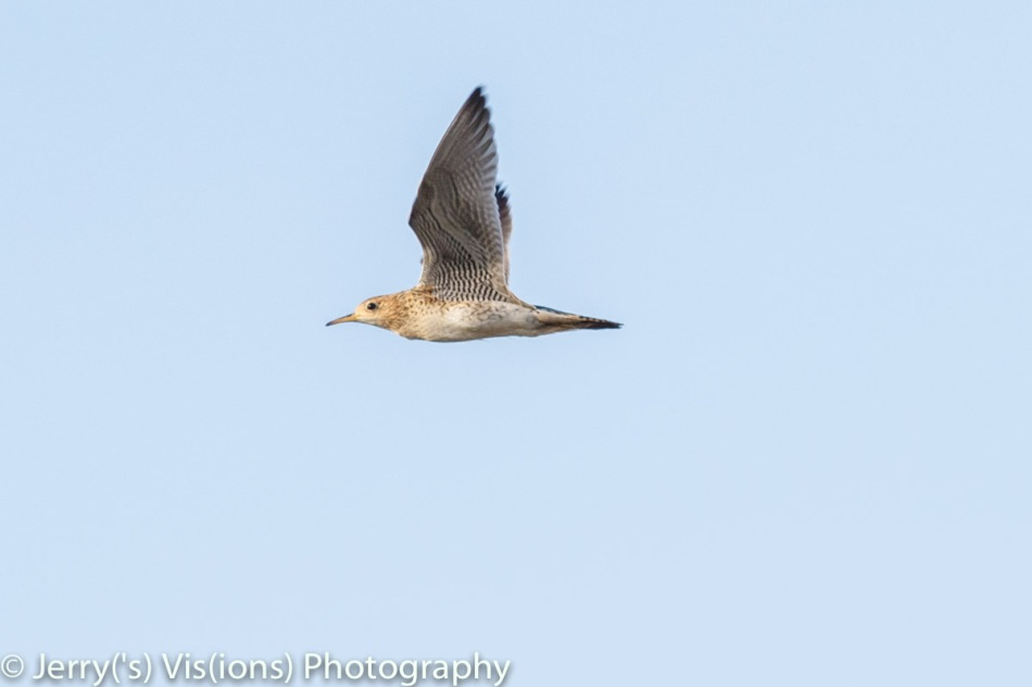 Upland sandpiper in flight