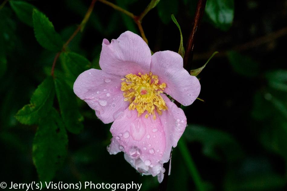 Swamp rose?
