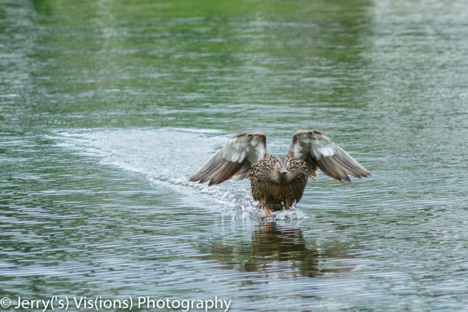 Female mallard coming in for a landing