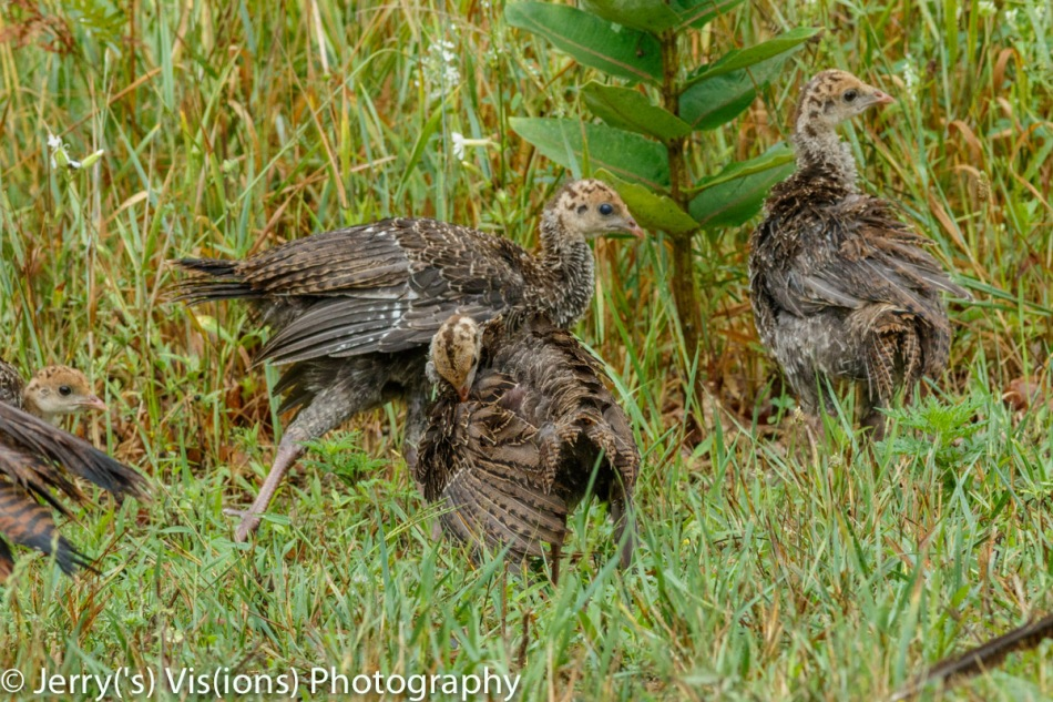 Turkey poults