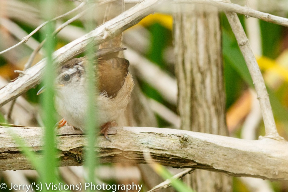Marsh wren hiding