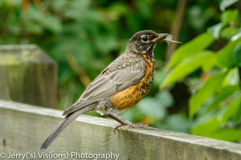 Juvenile robin with a mayfly