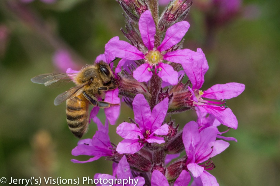 Honeybee on purple loosestrife