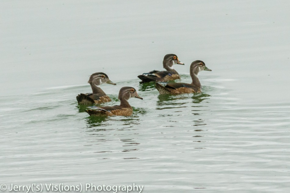 Wood ducks in eclipse plumage