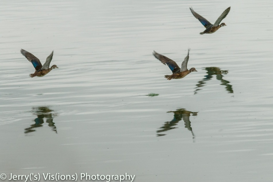 Wood ducks in flight