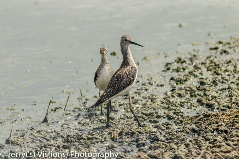 Lesser yellowlegs in front of a solitary sandpiper