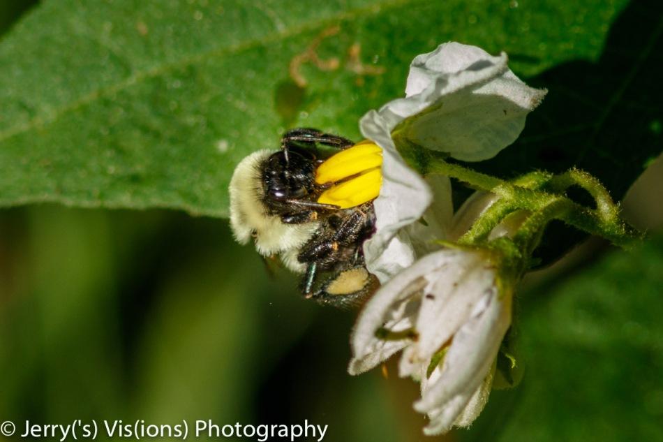 Bumblebee on horse nettle