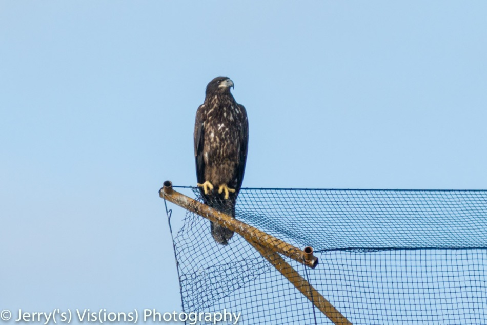 Juvenile bald eagle number 1