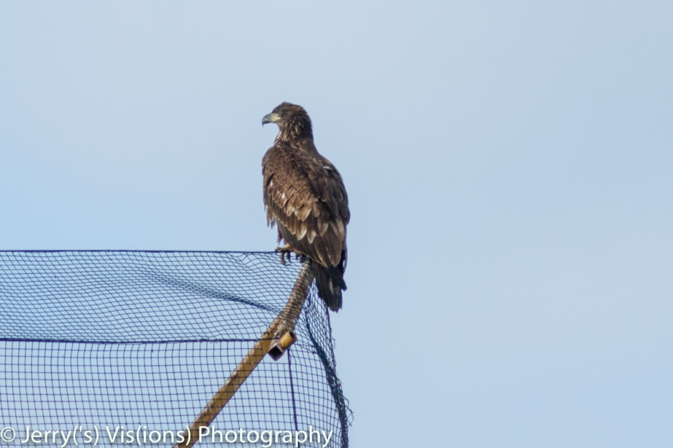 Juvenile bald eagle number 2