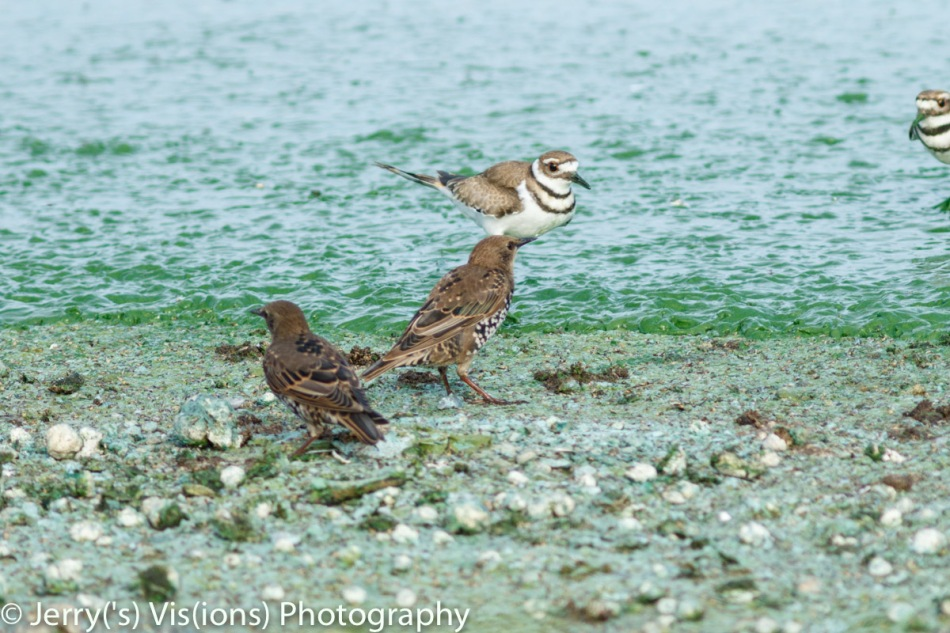 Juvenile starlings and killdeer