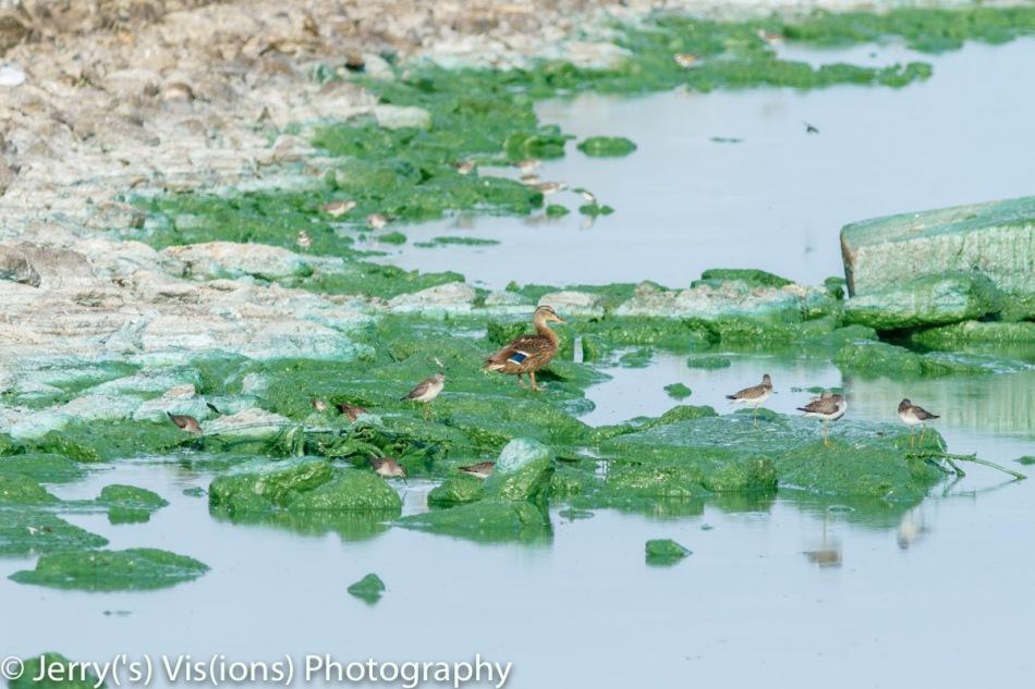 Mallard and shorebirds