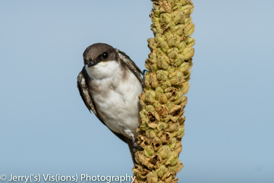 Juvenile bank swallow
