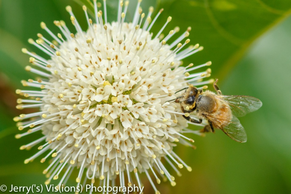 Honeybee on buttonbush