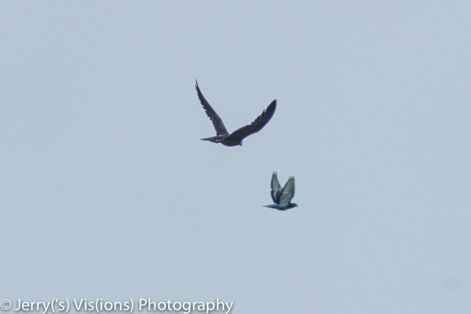 Peregrine falcon chasing a pigeon