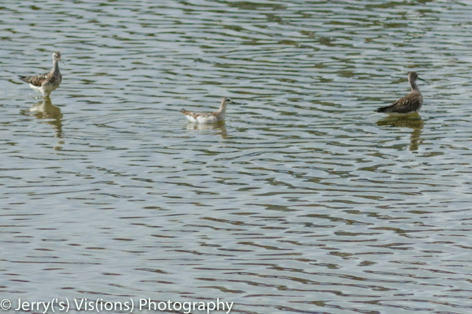 Wilson's phalarope between two lesser yellowlegs