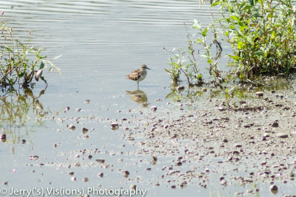 Sharp-tailed sandpiper?