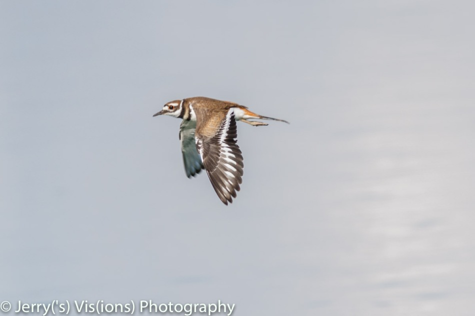 Killdeer in flight