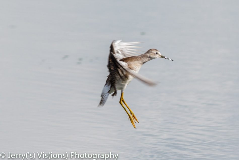 Lesser yellowlegs in flight