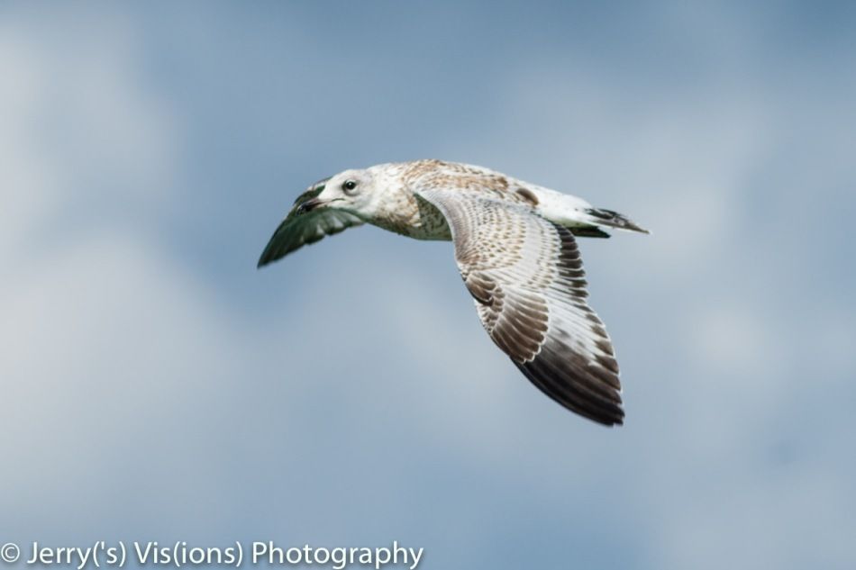 Juvenile gull in flight
