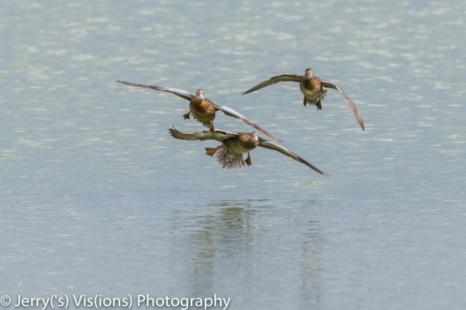 Blue winged teal in flight