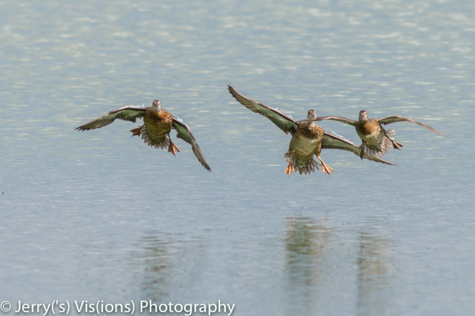 Blue winged teal in flight