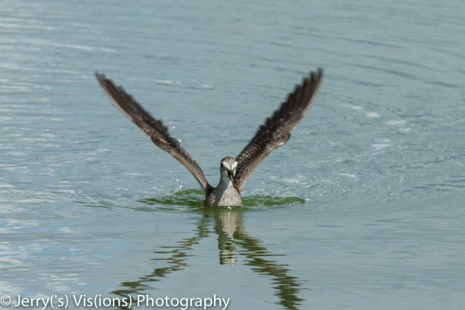 Lesser yellowlegs at take-off