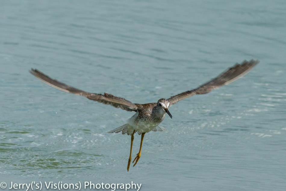 Lesser yellowlegs preparing to land