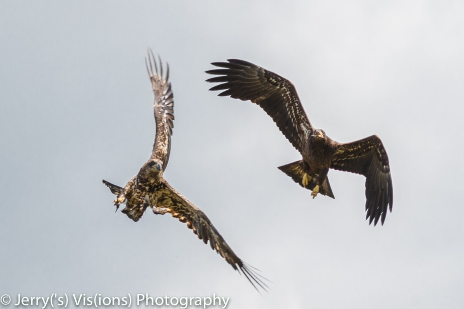 Two juvenile bald eagles fighting