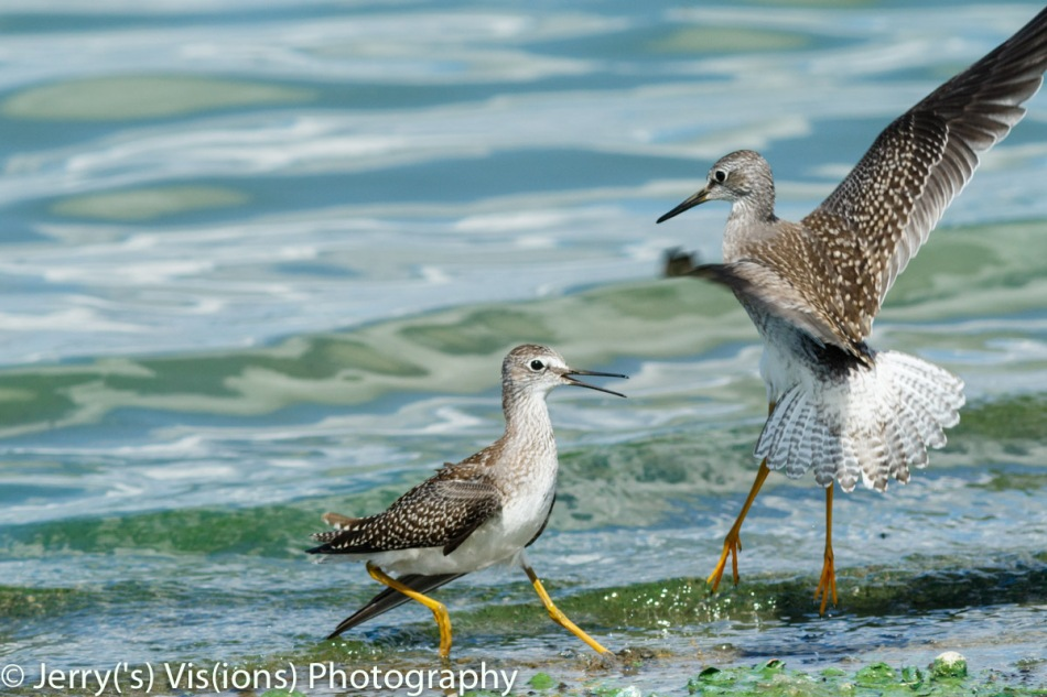 Two lesser yellowlegs about to fight