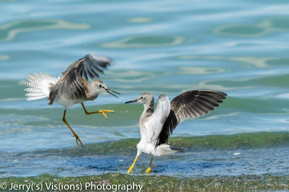 Two lesser yellowlegs fighting