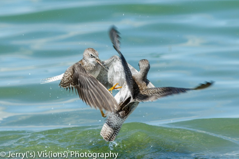 Two lesser yellowlegs fighting