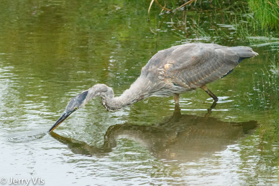 Great blue heron catching another minnow