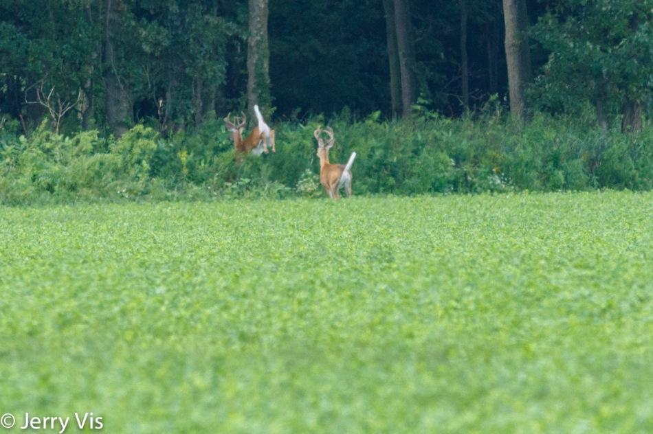 Whitetail bucks on the run