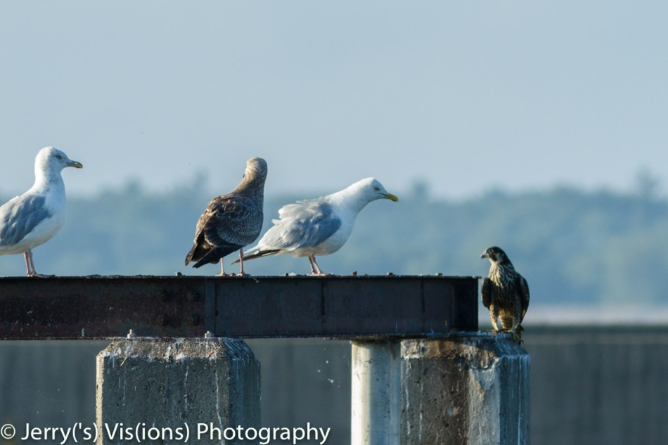Herring gulls and peregrine falcon