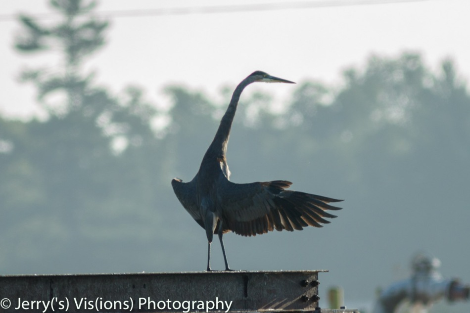 Great blue heron sunbathing