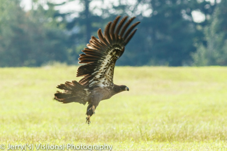Juvenile bald eagle taking off