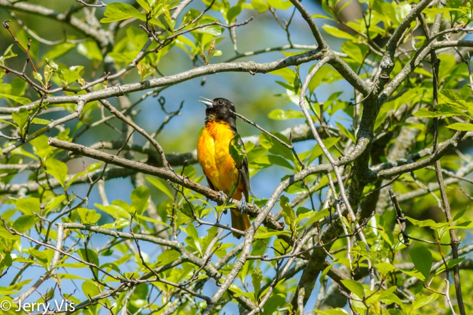 Male Baltimore oriole singing