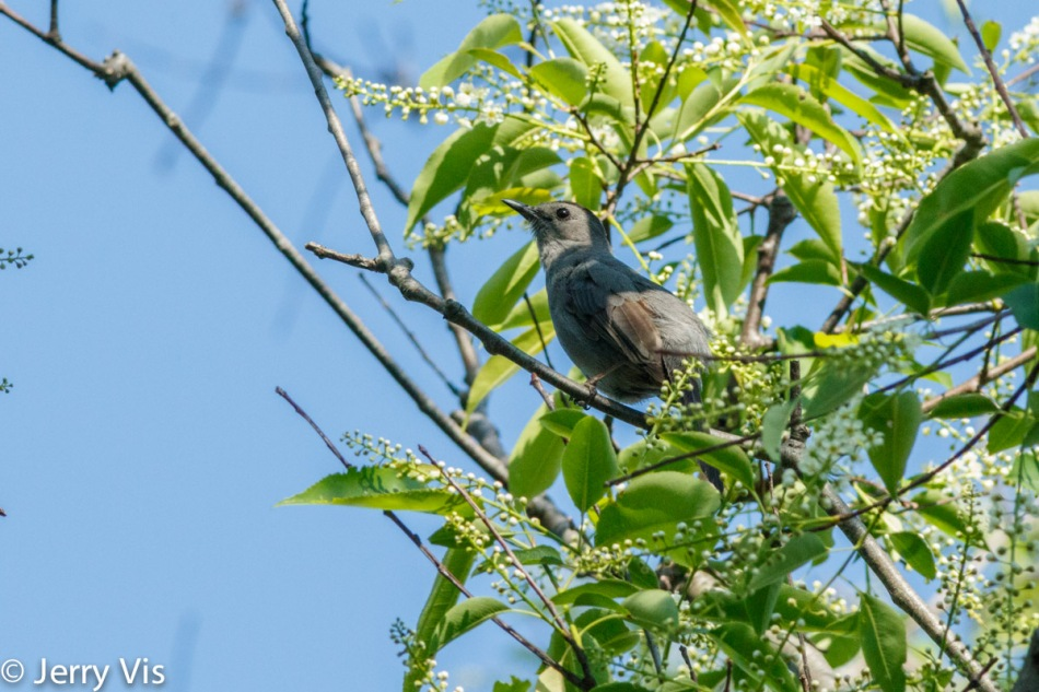 Male grey catbird