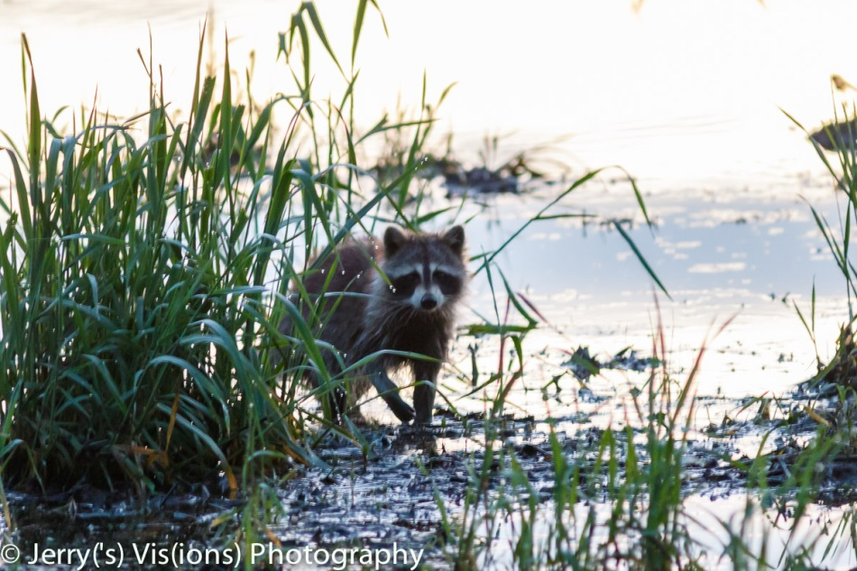 Raccoon at sunrise