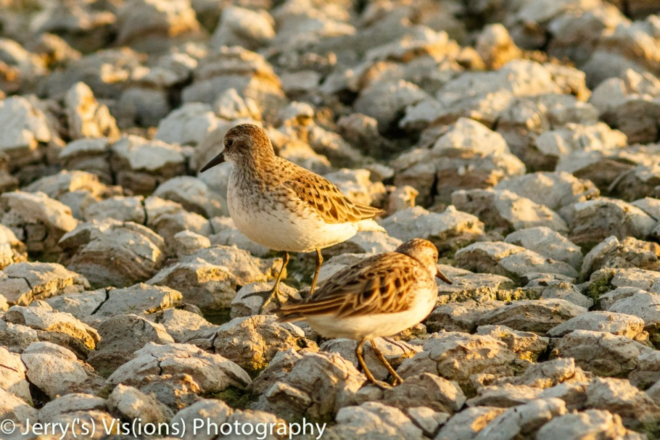 Least sandpiper in front of a semi-palmated sandpiper