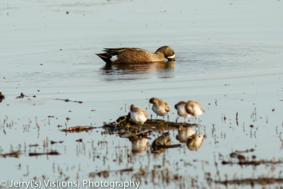 Blue-winged teal in front of White-rumped sandpipers