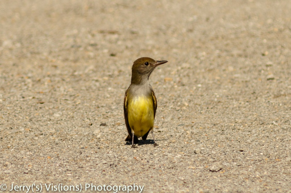 Great crested flycatcher (I don't name them, only photograph them)