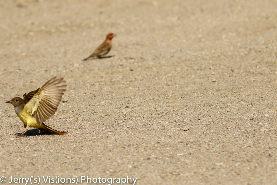 Great crested flycatcher and Male house finch