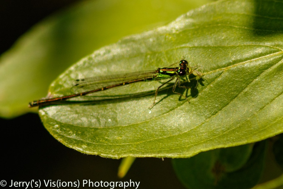 Damselfly with a snack