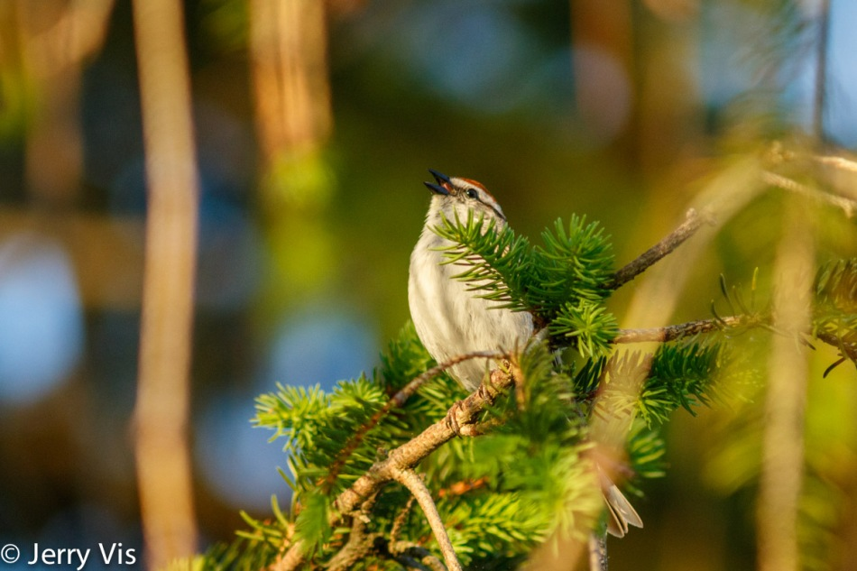 Male chipping sparrow singing